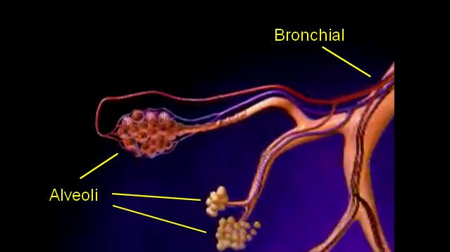 sleeping-emphysema-bronchial-alveoli