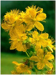 What Are The Natural Remedies For Narcolepsy St. John's Wort