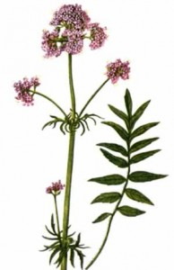 Is Valerian Root Safe valerian plant