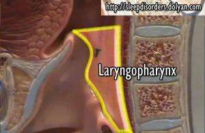 Laryngopharynx