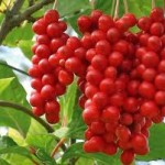 Schizandra Berries To Effectively Treat Insomnia