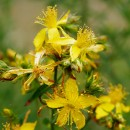 St. John's Wort as a Natural Remedy for Narcolepsy