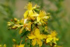 St.-Johns-Wort-as-a-Natural-Remedy-for-Narcolepsy-St.-Johns-Wort-Flower.jpg