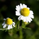 Chamomile as a Natural Remedy for Sleep Apnea