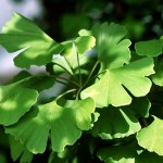 Ginkgo Biloba Natural Remedy for Sleep Disorders
