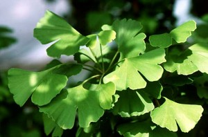 Ginkgo Biloba Natural Remedy for Sleep Disorders.jpg