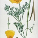 Health Benefits of California Poppy
