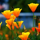 How to Grow California Poppy