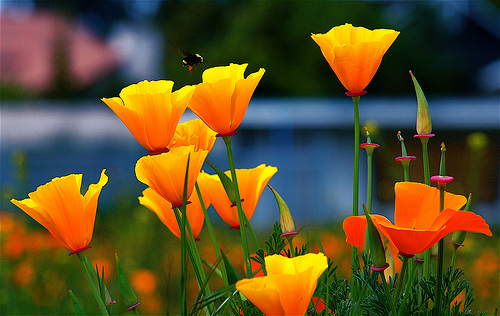 How To Grow California Poppy Sleep Disorders Advice Amp Help