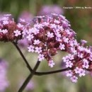 Verbena Pure Essential Oil Can Help With Sleep Apnea