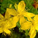 St. John's Wort to Improve Sleep Disorders