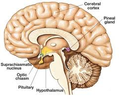 How To Stimulate The Pineal Gland To Produce More Melatonin - Circadian Rhythm Sleep Disorder