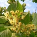 How To Grow Linden Flower