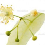 How To Use Linden Flower For Nocturnal Panic Attacks