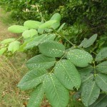 Jamaica Dogwood for Sleep Apnea