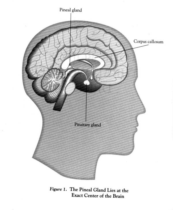 Pineal Gland - Structure And Function